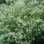 Crambe 'Cordifolia' (Crambe cordifolia (Crambe))