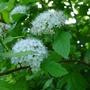 Physocarpus_opulifolius_dart_s_gold_2012