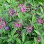 Kalmia_angustifolia_rubra_2012