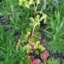 Chiastophyllum_oppositifolium_2012