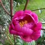 My deep pink paeony is finally in flower!