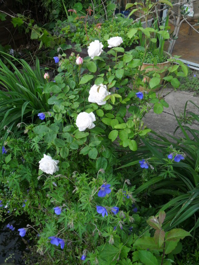 Winchester Cathedral rose, and Brookside perennial geranium