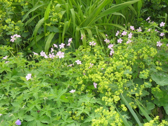 Pale pink geranium and Alchemilla mollis growing by the pond