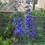 Deep blue delphiniums finally in flower