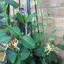 Honeysuckle and sweet peas