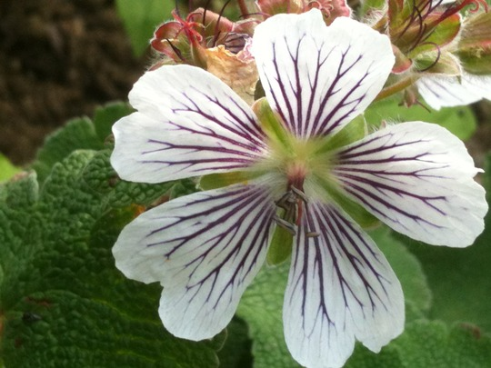 Geranium Renardii - close up of flower (Geranium renardii)