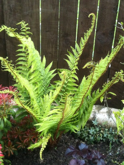 Fern - For Pixi (Matteuccia struthiopteris)