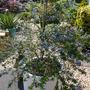 Ceanothus ` Californian Lilac `