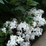Dwarf White Rhododendron