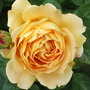 Rosa 'Golden Celebration' (Rose)