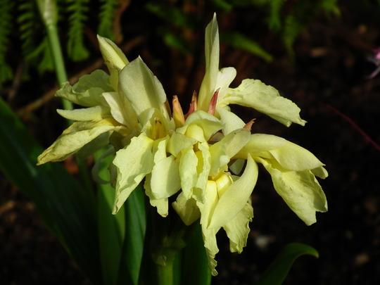 Roscoea cautleyoides (Roscoea cauleyoides)