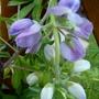 Lupinus arboreus flower (Lupinus arboreus (Tree lupin))