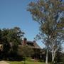 Corymbia (Eucalyptus) citriodora - Lemon-Scented Gum (Corymbia (Eucalyptus) citriodora - Lemon-Scented Gum)