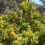 Tecoma stans - Yellow Elder (Tecoma stans - Yellow Elder)