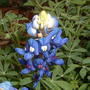 State Flower of Texas, the Bluebonnet