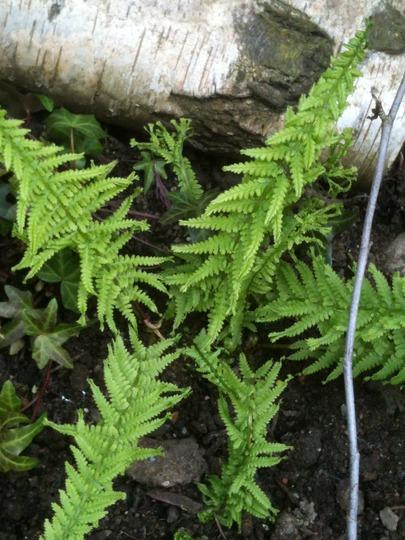 Athyrium filix femina Cruciatum grp Victoriae (Athyrium filix-femina (Lady fern))
