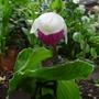 Cypripedium_reginae_2012