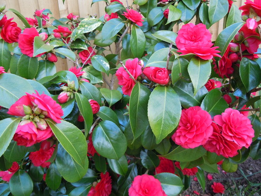 camellia jap. imbricata rubra