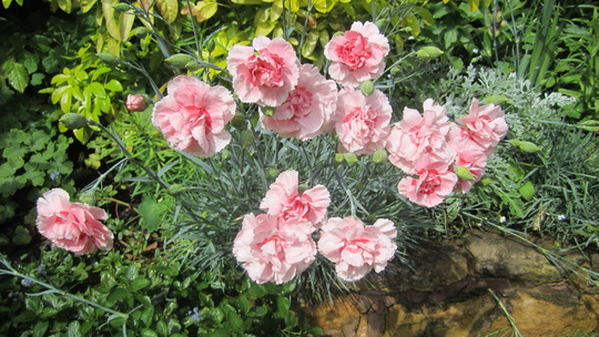 'Indian Pink' Dianthus (Dianthus caryophyllus (Carnation Can-Can))