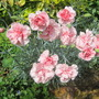 &#x27;Indian Pink&#x27; Dianthus (Dianthus caryophyllus (Carnation Can-Can))