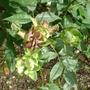 Rosa x odorata 'Viridiflora' - 2012 (Rosa x odorata 'Viridiflora')