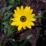 First African Daisy! (Dimorphotheca sinuata (African Daisy))