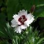 "Dwarf dianthus   "" Brilliant star  """