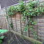grape vine 15th June 2012