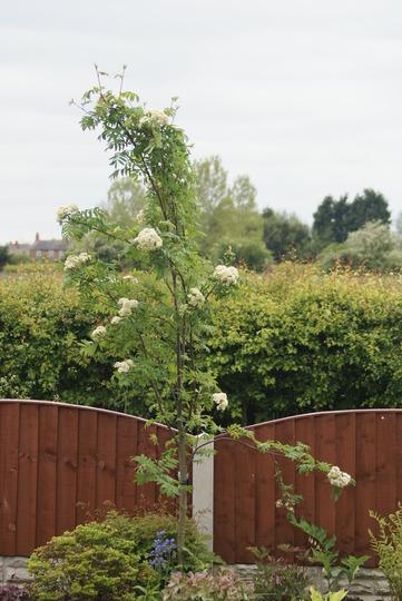 Rowan Treet (Sorbus aucuparia (Mountain ash))