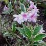 Weigela Florida variegata (Weigela Florida variegata)