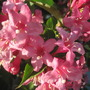 weigela (Weigela florida (Weigela))