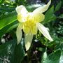 Aquilegia 'Yellow Queen'