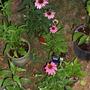 Echinacea 'Wild Berry'