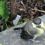 15.6.12 Baby Great Tit