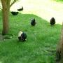 Ducks & Chickens