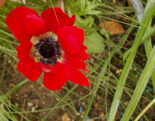 Anemone red (Anemone blanda (Anemone))