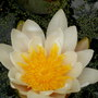 white water lily (Nymphaea)