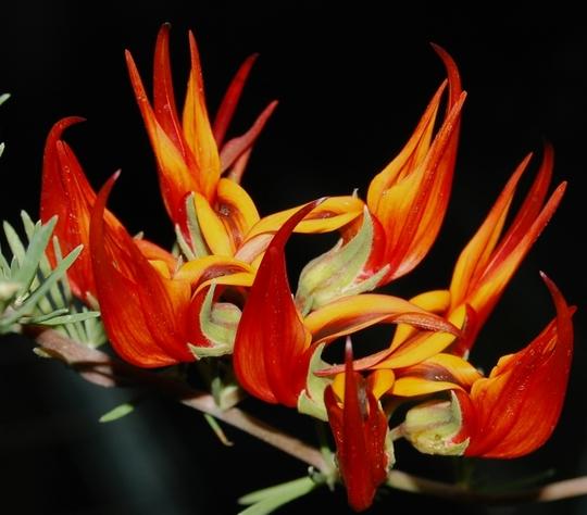 Lotus berthelotti (Lotus berthelotii (Parrot's bill))