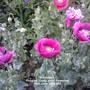 Allotment: Poppies (Deep pink) flowering 16-06-2012 002