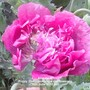 Allotment_poppy_deep_pink_close_up_flowering_16_06_2012_003.jpg