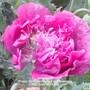 Allotment_poppy_deep_pink_close_up_flowering_16_06_2012_003.jpg