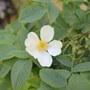 rambling rector flower
