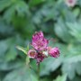 Astrantia roma flower buds