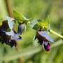 cerinthe flower (cerinthe)