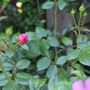 rose bonica flower buds
