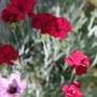 Scarlett alpine pinks