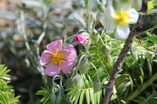 pink and white rock rose
