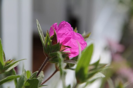 Cistus purpureus sunset (cistus silver pink)