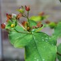 Hypericum  (Hypericum androsaemum)