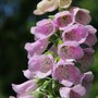 Digitalis purpurea flowers (Digitalis purpurea (Common foxglove))